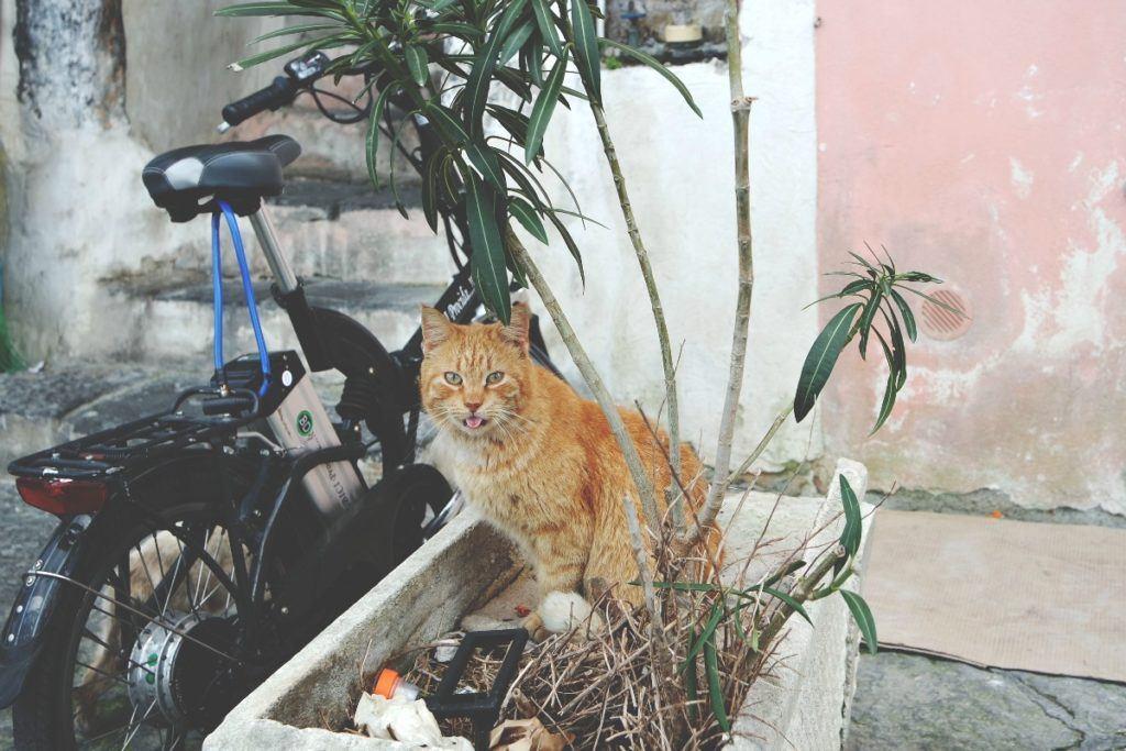 Procida vörös cica