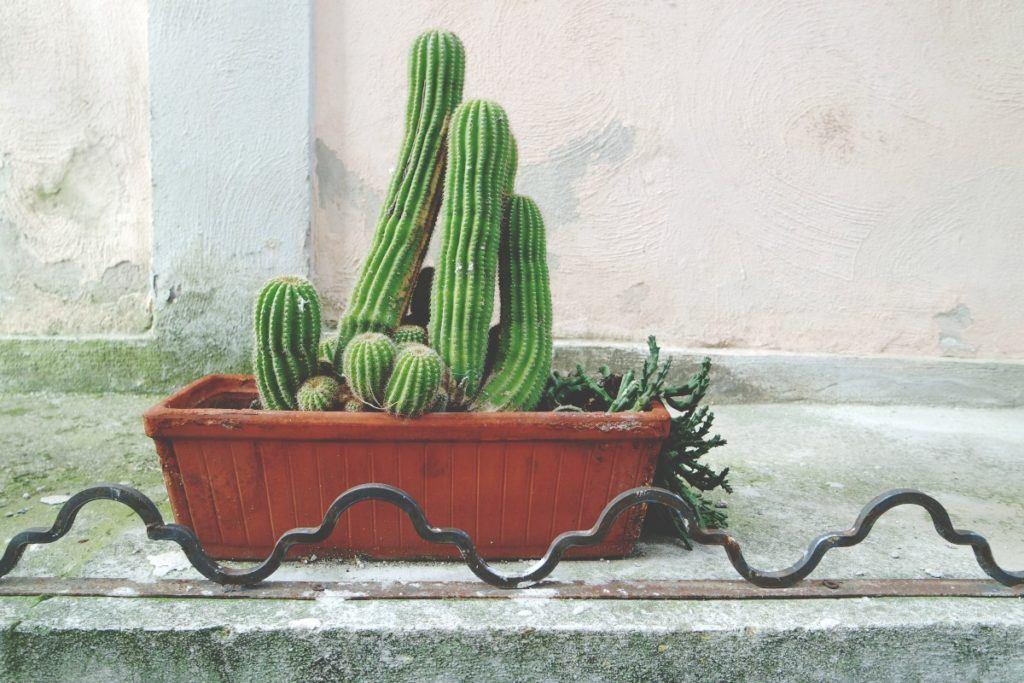 Procida kaktusz