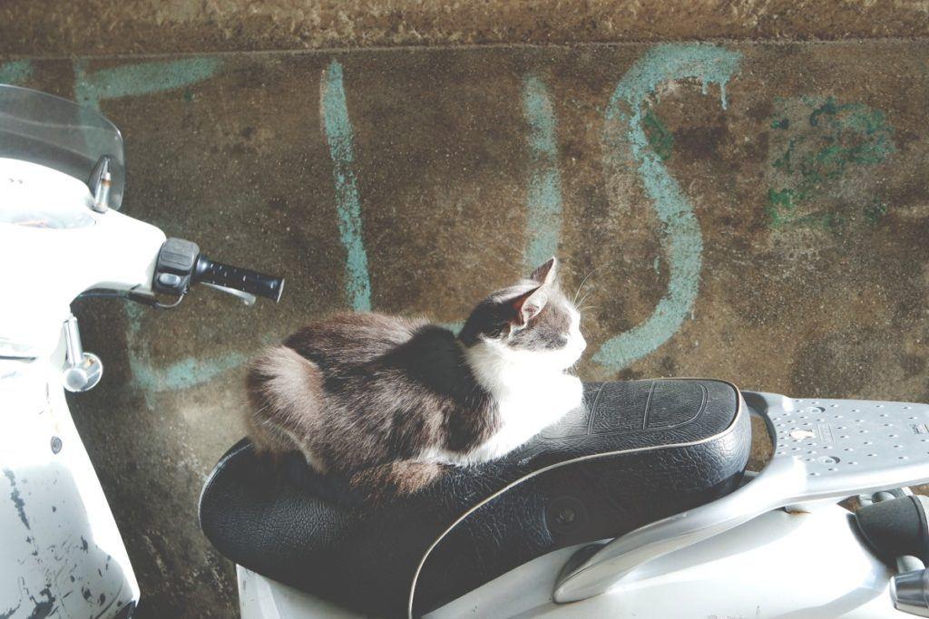 Procida macska